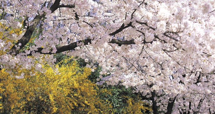 Companion planting can make your cherry tree flowers appear more dramatic.