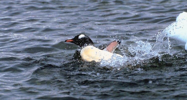 As habilidades aquáticas dos pinguins compensam sua incapacidade de voar