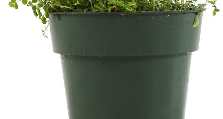 Las plantas de alfalfa pueden prosperar durante más de cinco años, bajo las condiciones adecuadas.