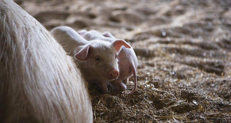 Os fetos dos porcos passam 112 dias no útero da mãe, desde o momento em que foram concebidos