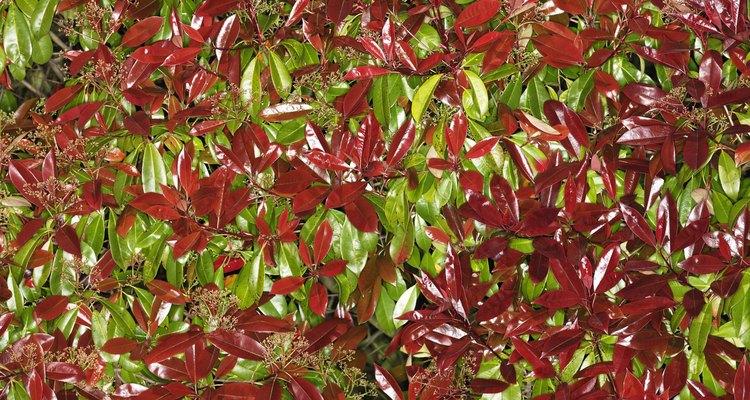 Las hojas nuevas en el arbusto fotinia de punta roja comienzan rojas antes de ponerse verdes.
