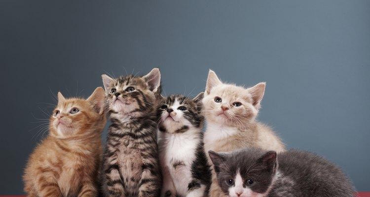 Como acontece com a cor da pelagem, nem todos os gatos da mesma ninhada terão a mesma cor de olhos