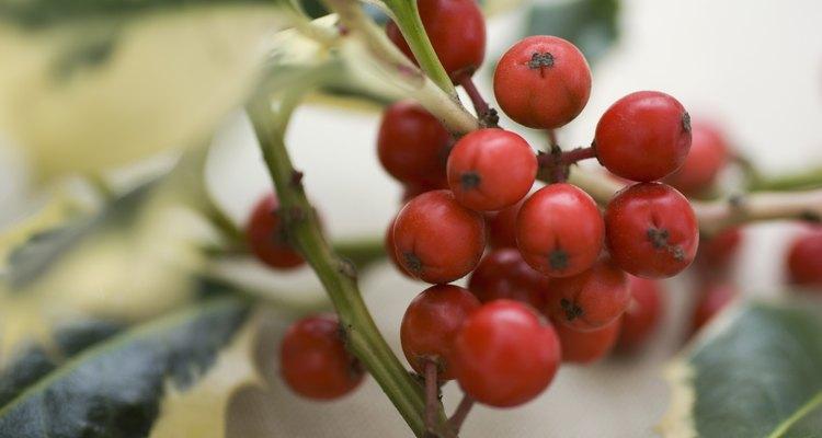 Os frutinhos indicam uma planta fêmea