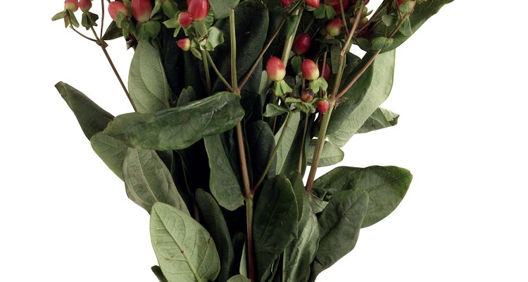 La planta perenne iberis ofrece a la casa o jardín racimos de montículos de flores rosadas, lavanda o blanco hielo.