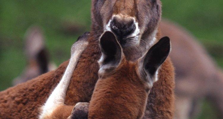 Os cangurus possuem um marsupium ou bolsa, que faz parte do sistema reprodutivo
