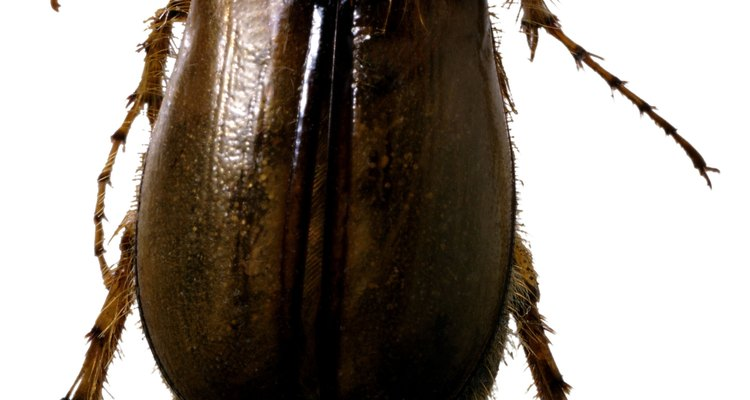 June beetles are one type of bug that lay eggs underground.
