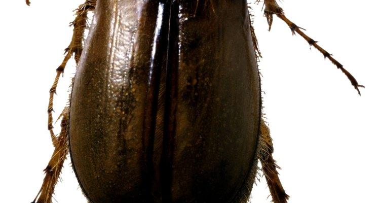 Os escaravelhos são também conhecidos como besouros noturnos