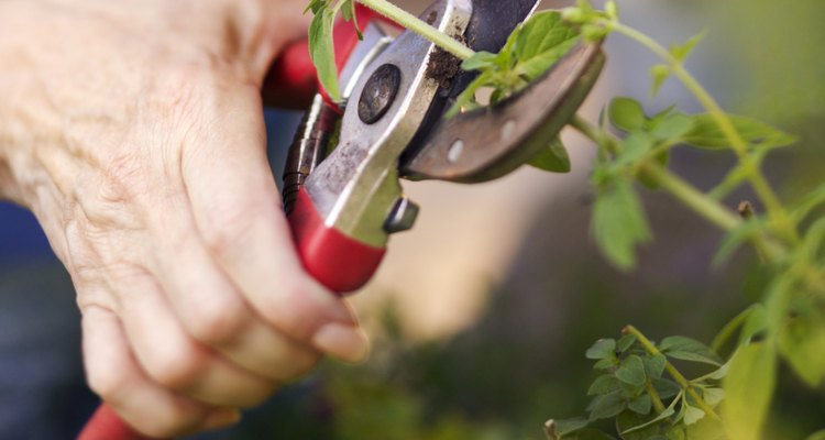 La mayoría de las tijeras de podar son suficientes para recortar las gardenias.