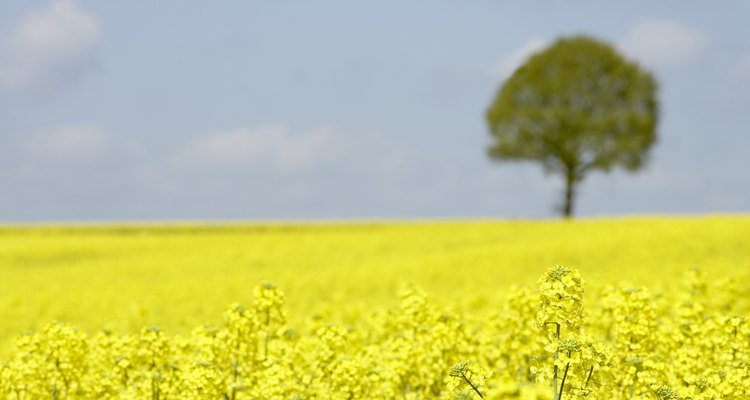 Rapeseed beautifies the countryside when the saffron-coloured flowers are in bloom.