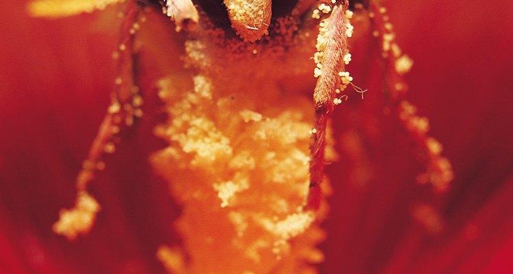 El miller polvoriento es una planta perenne y muy fácil de cultivar.