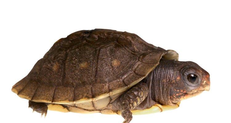 Para saber si tu tortuga es hembra o macho, debes esperar a que alcance la edad adulta.