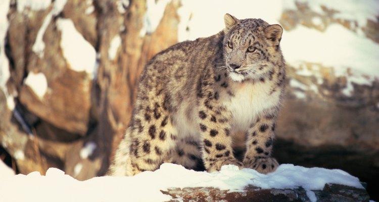 El leopardo de nieve es una de las raras especies encontradas en el desierto de Gobi.
