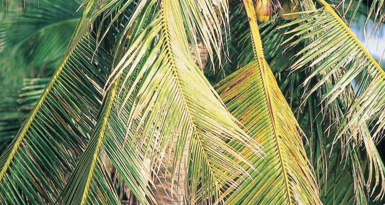 Cocos mais jovens contêm mais água
