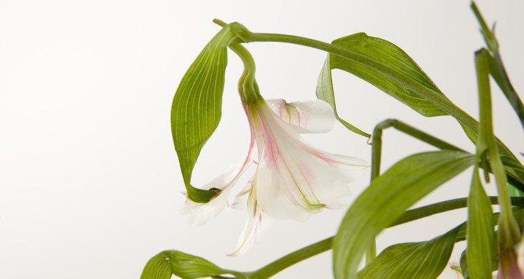 Los tallos débiles de plantas pueden tener varias causas.