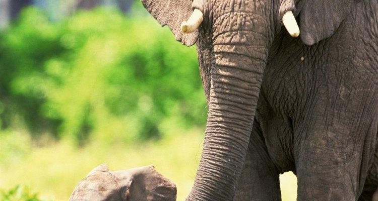 Normalmente las rutas migratorias de los elefantes africanos son las mismas año tras año.