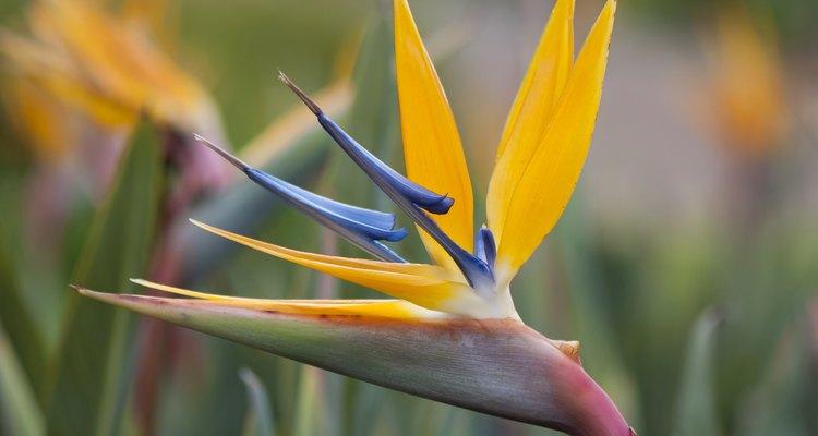 Ave del paraíso en floración.