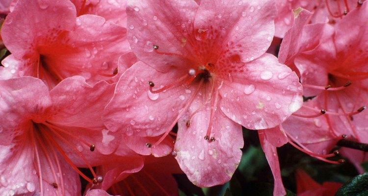Valiosas variedades de azaleias podem ser propagadas por enxertia