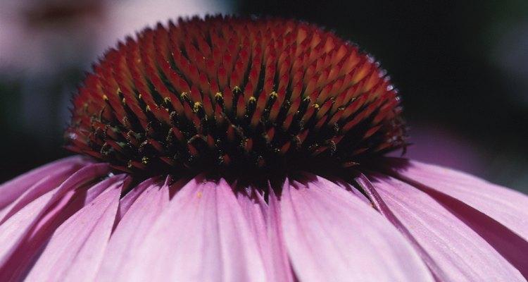 La equinácea púrpura es una flor ideal para atraer abejas y otros polinizadores.