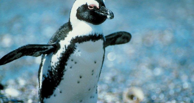 Hasta las aves no voladoras, como los pingüinos, comparten la mayoría de las características principales de las aves.