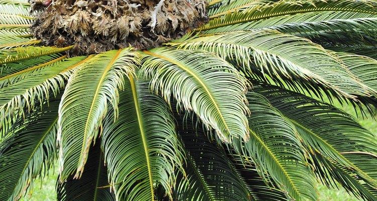 O cone fêmea de uma palmeira sagu parece um pouco como uma flor