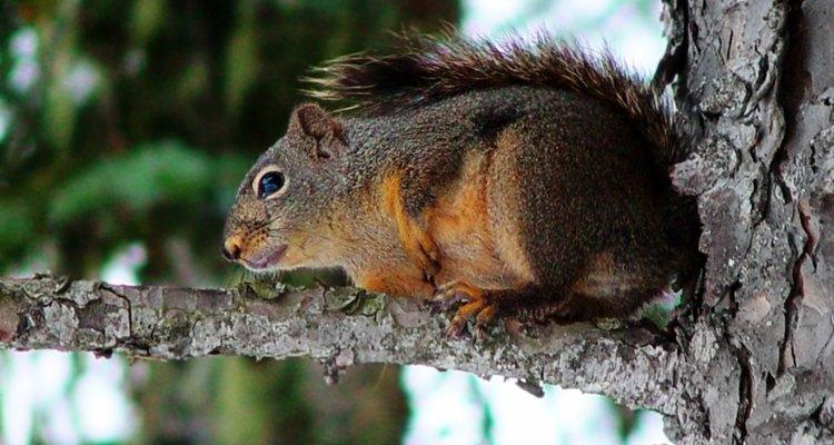 Cliques e silvos ajudam a atrair esquilos