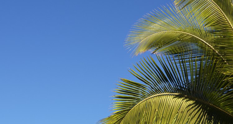 Palm trees have shallow roots.