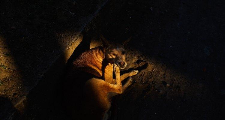 Rascado producido por enfermedades de la piel en perros.