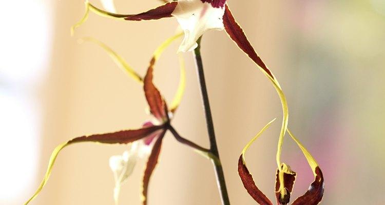 Al igual que los ácaros, los bichos de encaje se alimentan de clorofila, lo que hace las hojas de color amarillo.