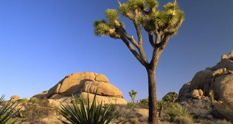 Observa partes del legendario Joshua Tree en un recorrido en bicicleta en Palm Springs.