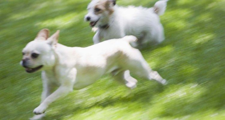Algumas raças possuem uma cauda torcida, principalmente os bulldogs