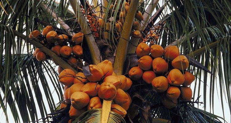 La cáscara amarilla en los cocos indica que aún están verdes.