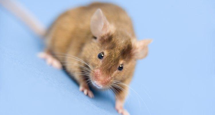 Se cree que algunos aromas alejan a los ratones.