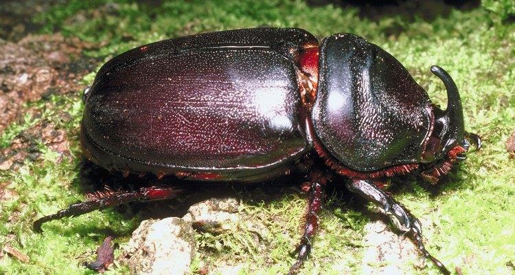Los escarabajos, especialmente los japoneses pueden comer rápidamente a través de las hojas de la planta de albahaca.