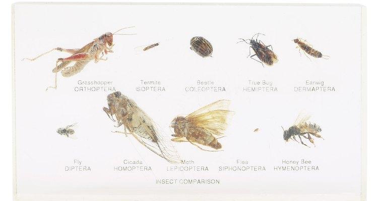 La de abajo a la derecha es una pulga.