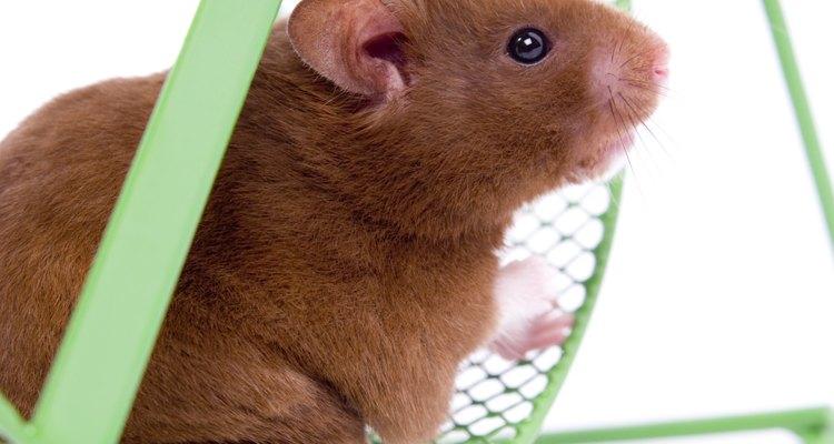 Existem vários sinais pelos quais procurar quando estiver tentando determinar se sua hamster terá filhotes