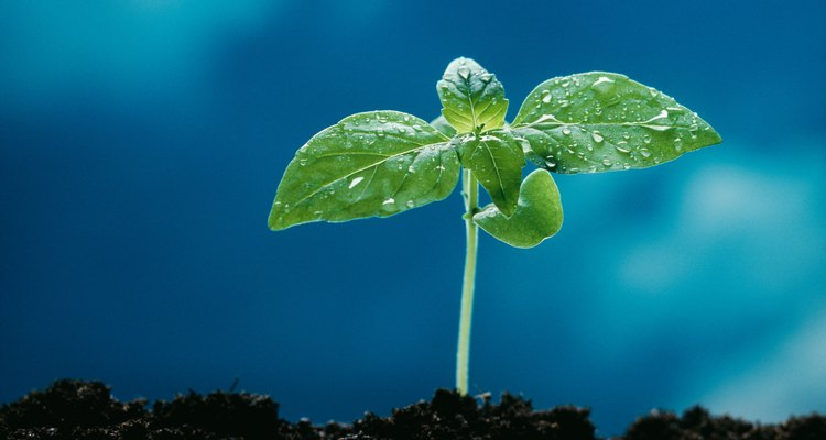 i notas que tus plantas han desarrollado hojas amarillas y marchitas, puedes tener una infestación de moscas del mantillo.