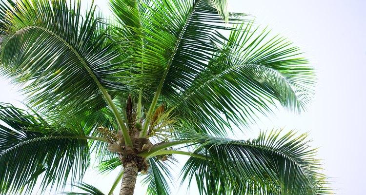 La palmera excelsa es resistente al frío.