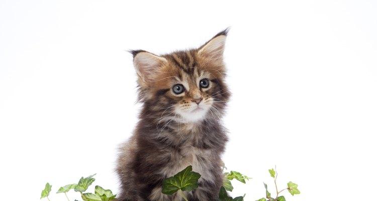 Gatos curiosos podem mordiscar as plantas em seu jardim ou em sua casa