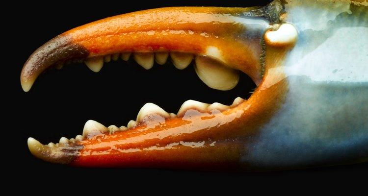 Usa guantes de cuero para manipular los cangrejos y evitar que te pellizquen con sus garras.