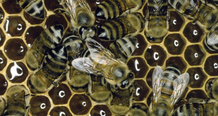 The honeybee pollinates crops and makes honey, but is preyed upon by wasps.