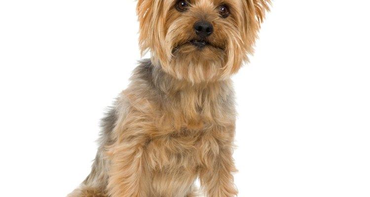 Las alergias son una causa común de conjuntivitis en los perros.