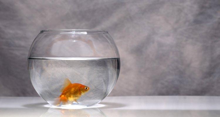 Caso precise colocar seu peixe-dourado em uma bacia, coloque água apenas até parte mais larga