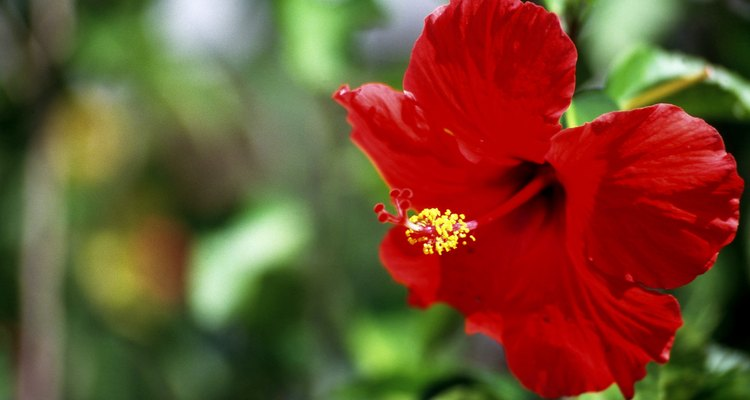 O hibisco chinês é o precursor do moderno hibisco tropical multicolorido