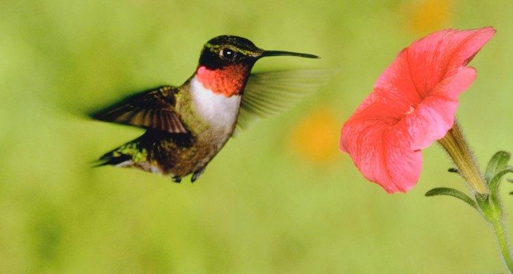 Beija-flores são bons para visualizar leves brisas