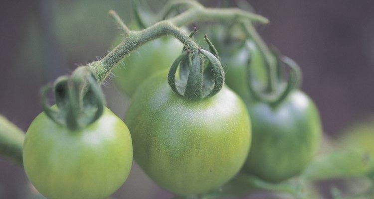 Se a geada acometer uma plantação, corte os tomates e leve-os para dentro de casa