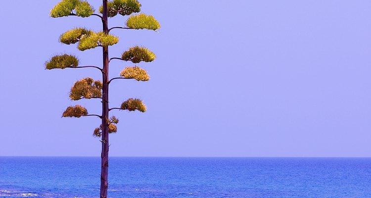 La inflorescencia enorme de un Agave americana.