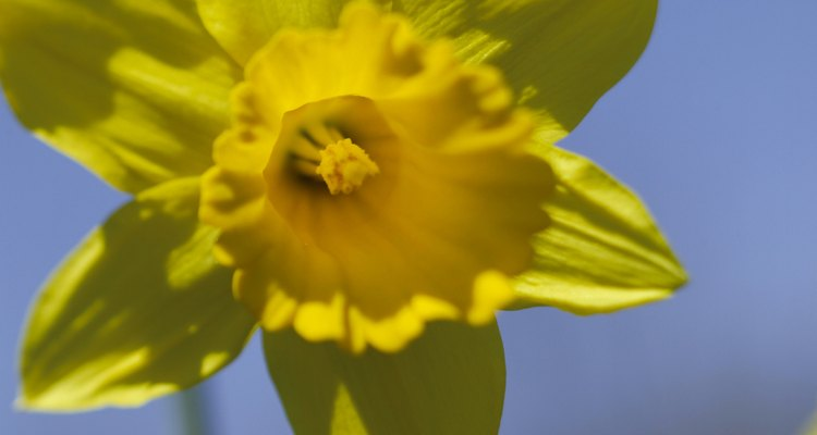 Daffodils welcome spring with sunny blooms.
