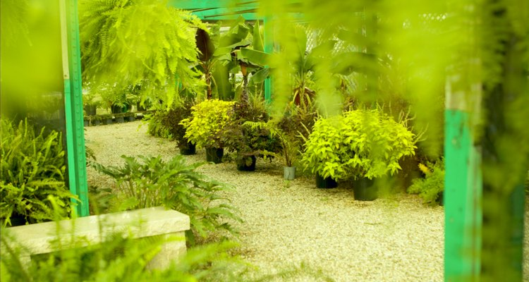 Whether indoors or in a greenhouse, ferns add texture and lush beauty.