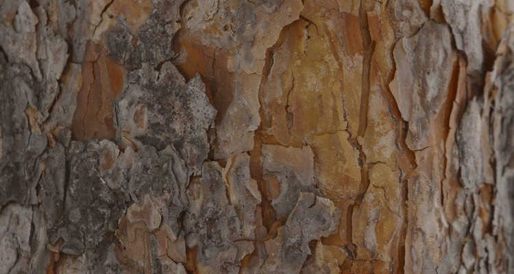 Pine trees can be tapped for sap to make turpentine or resin.