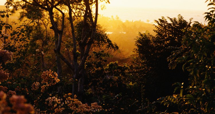 As plantas têm que se adaptar à água, ao solo e à luz do sol disponíveis na floresta tropical